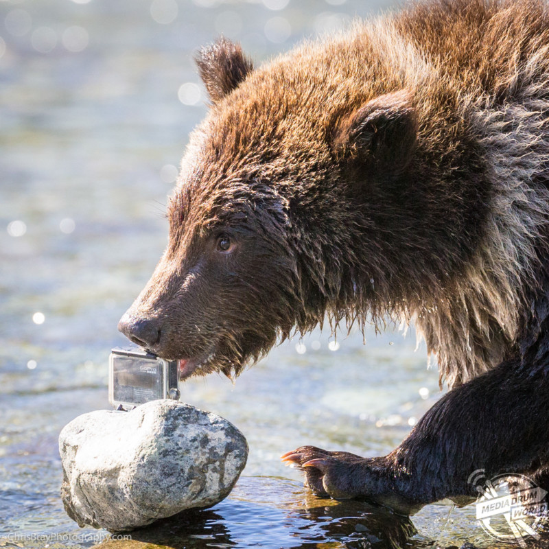Brown Bear Paradise