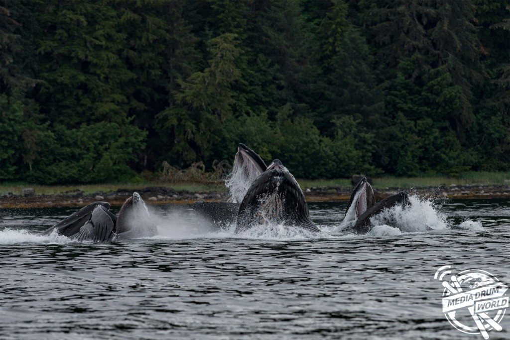 Humpback whales bubble net feeding.