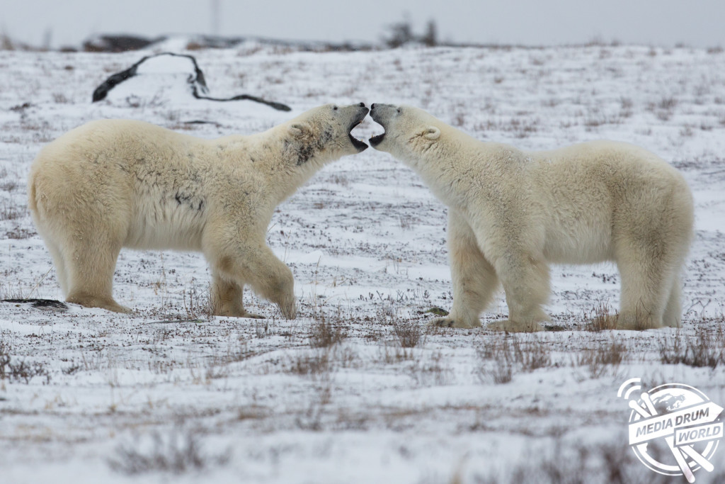 Polar Bear Fight