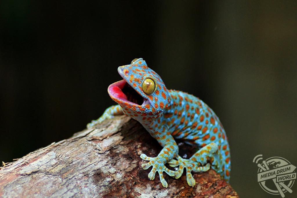 A Tokay gecko pulls itself up onto a log.