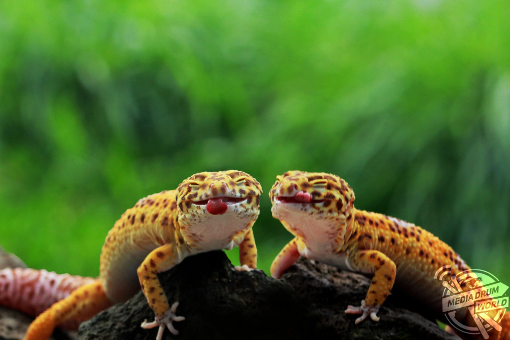 A pair of Leopard geckos stick their tongues out for the camera.