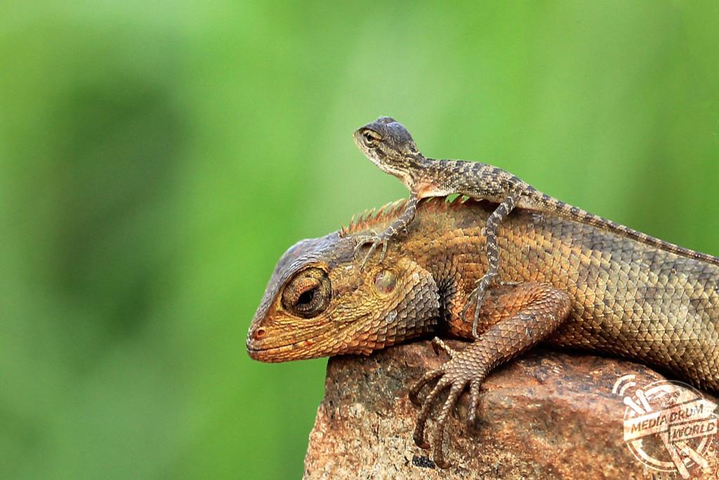 Raspberry Geckos