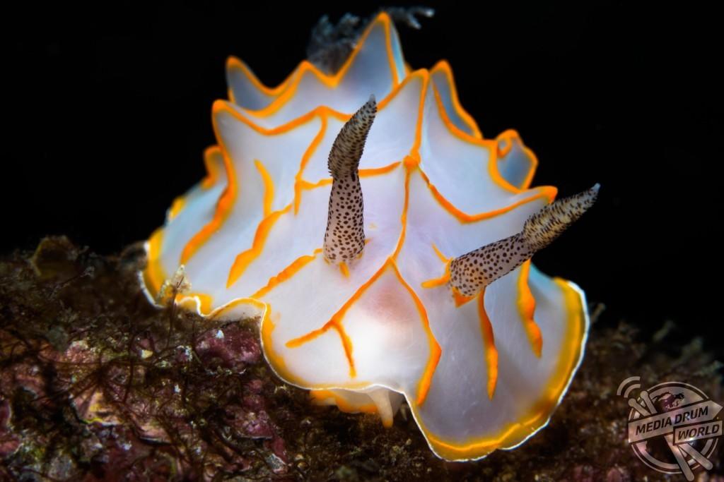 A nudibranch. Marcelo Johan Ogata / mediadrumworld.com