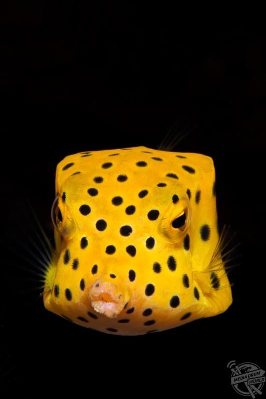 A pouty boxfish. Marcelo Johan Ogata / mediadrumworld.com