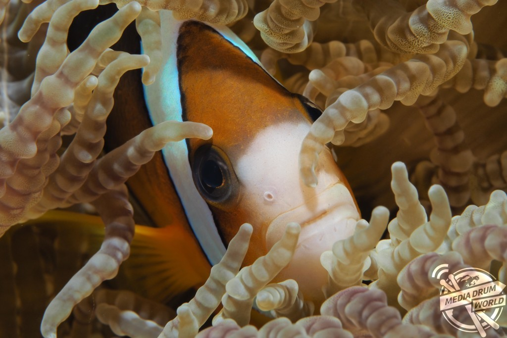 A clown fish hiding amongst the coral. Marcelo Johan Ogata / mediadrumworld.com