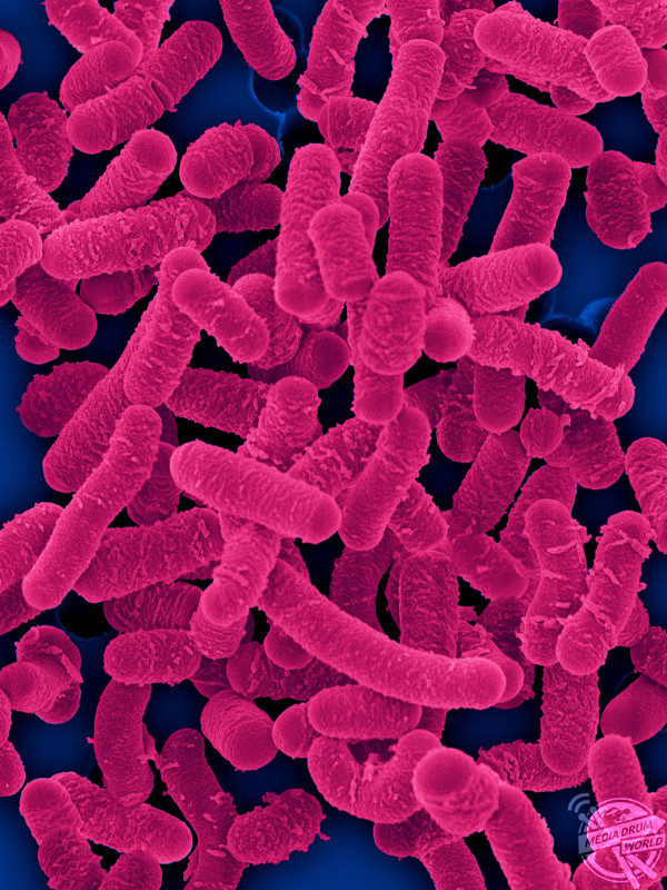 Coloured scanning electron micrograph (SEM) of Lactobacillus salivarius is homofermentative, probiotic bacterium that lives in the human gastrointestinal tract. Dennis Kunkel Microscopy/ SPL / mediadrumworld.com