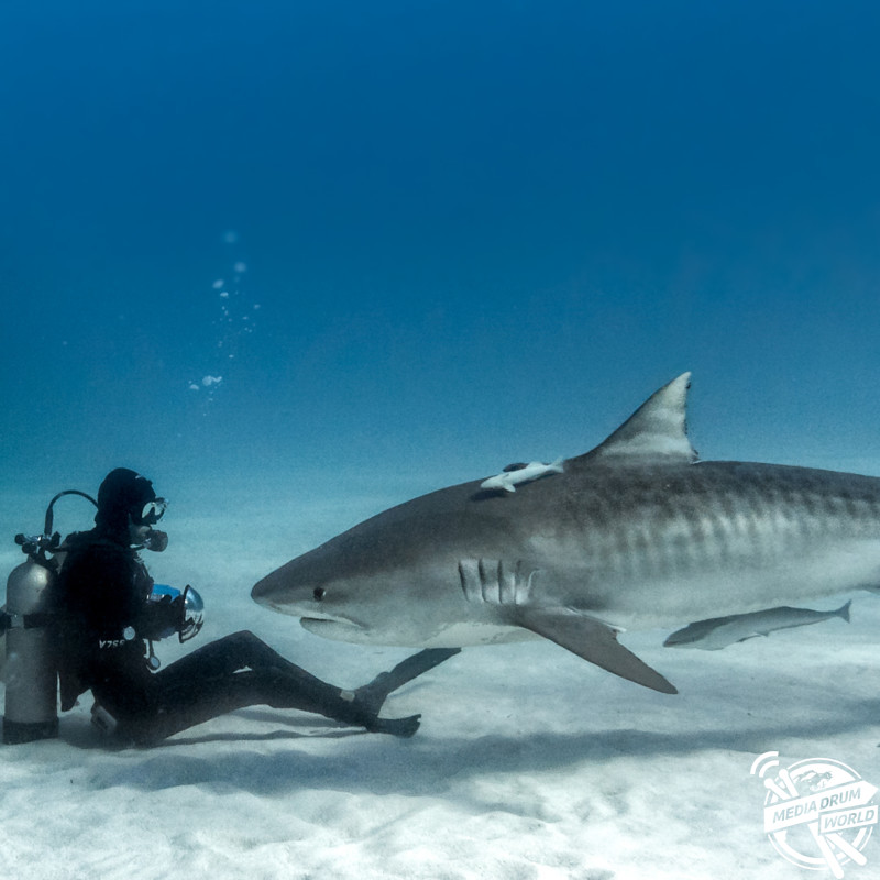 Mike Coots coming face to face with a tiger shark for the first time since the attack. Mike Coots / mediadrumworld.com