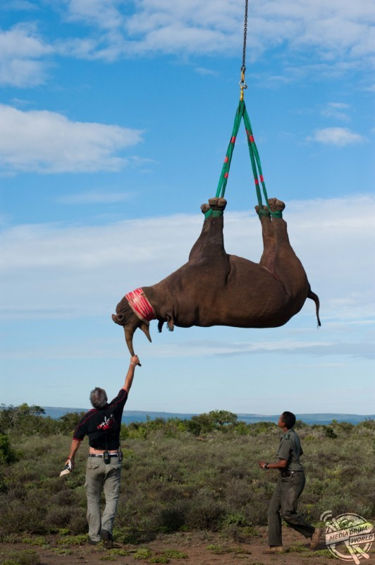 A rhino being lowered to the ground. Pete Oxford / mediadrumworld.com