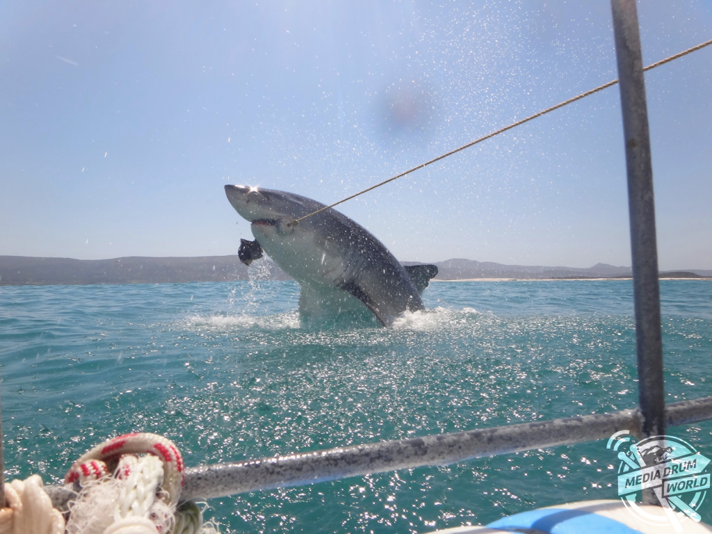 KLEINBAAI, SOUTH AFRICA: A BRITISH tourist has captured the amazing moment a huge Great White shark breached the water in pursuit of a tasty treat. Joseph Butler / mediadrumworld.com