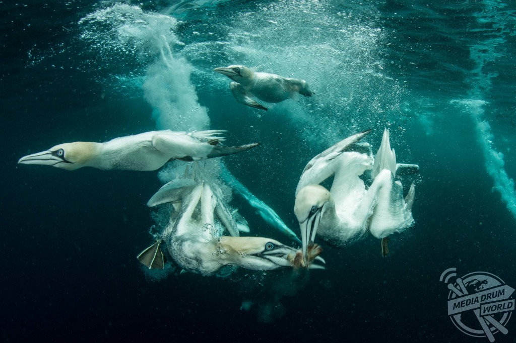 Two Gannets sharing one fish
