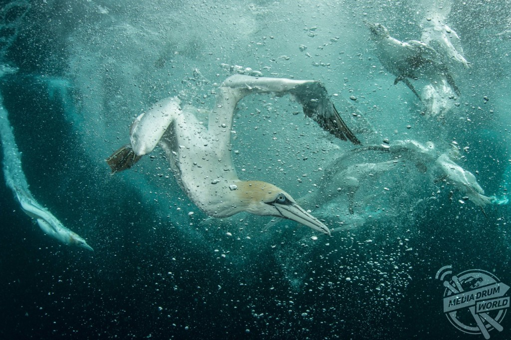 Gannet diving, hunting for fish