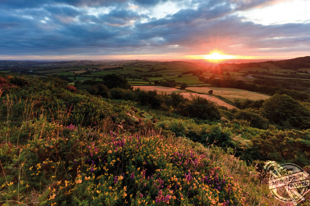 Summer sunrise over Pilsdon Pen with heather and gorse in the foreground.  Mark Bauer / mediadrumworld.com