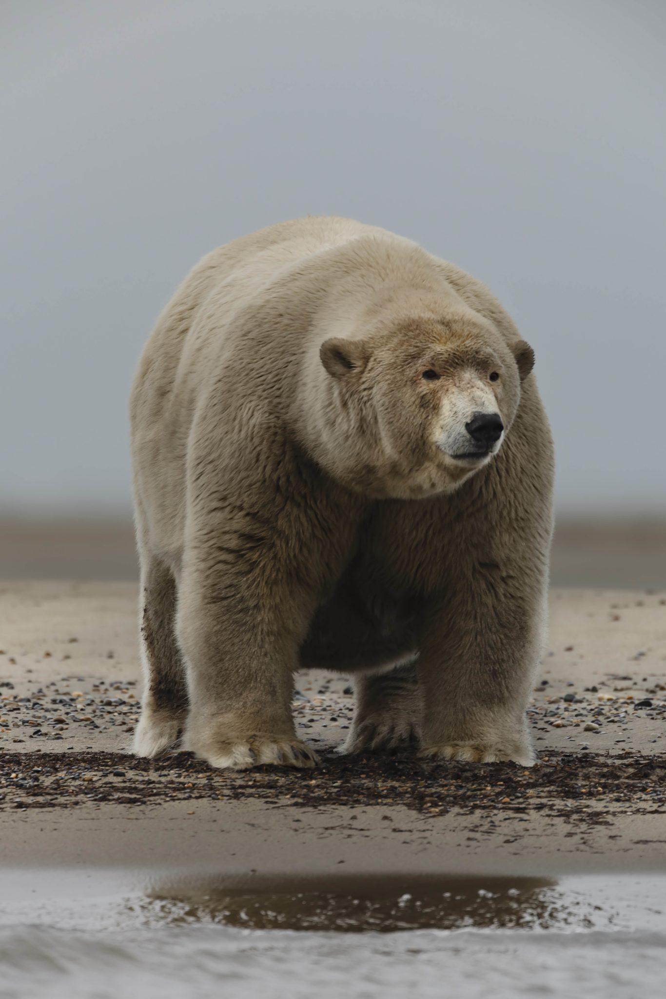 chubby bears Big
